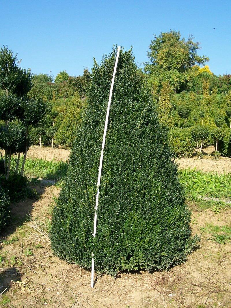 Buchsbaum Buchsbäume Buchsbaumhecken Buchsbaumfiguren